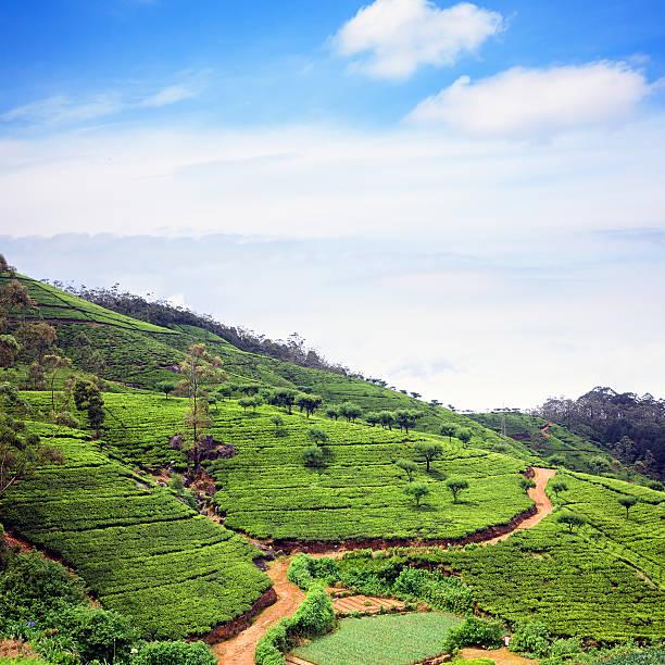 Tea plantation, Sri-Lanka stock photo