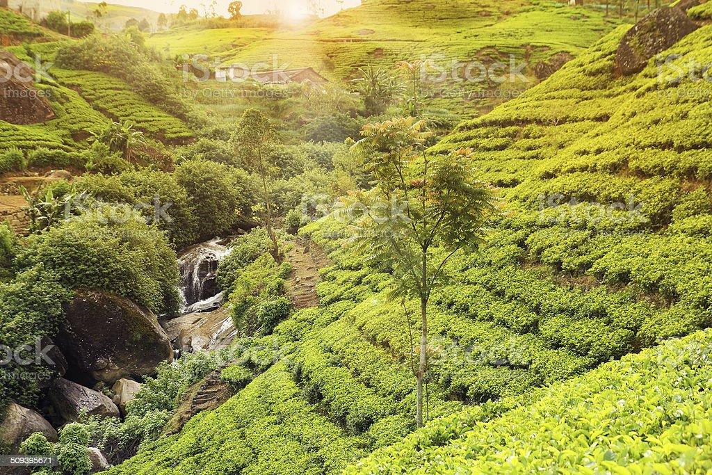 tea plantation sunset stock photo