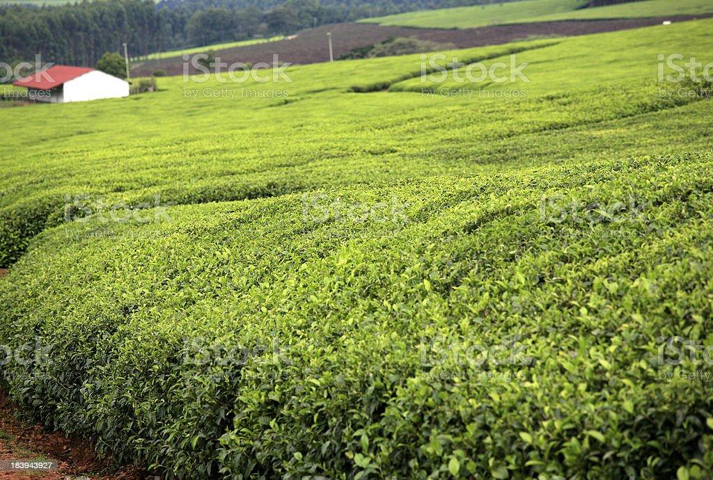 Tea plantation, Unilever Estate, Kericho, Rift Valley, Kenya. stock photo