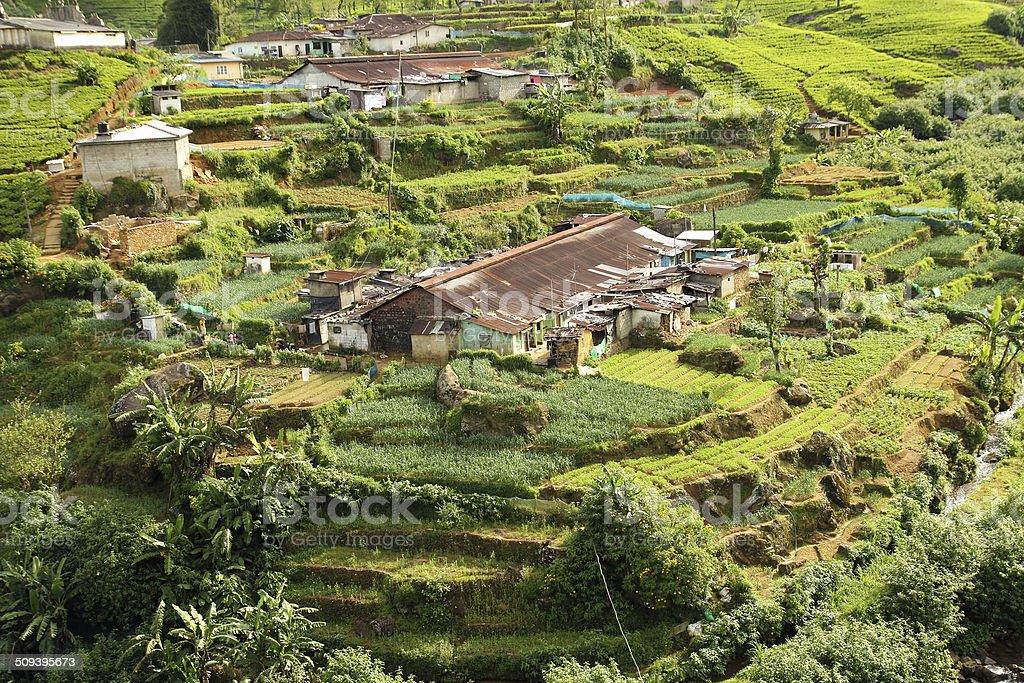 tea plantation village stock photo