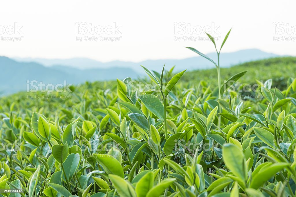 Tea plantation with mountain background foto royalty-free