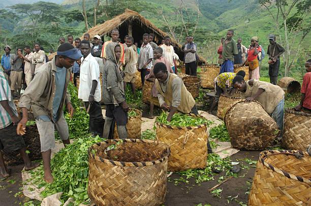 Tea plantation workers, Mozambique stock photo