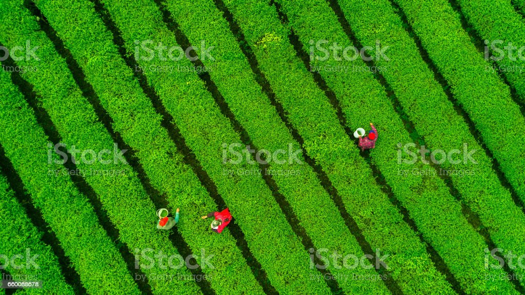 Tea plantation.Chinese tea. stock photo