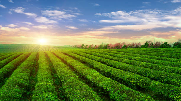tea plantation.chinese tea. - organic farm stock photos and pictures