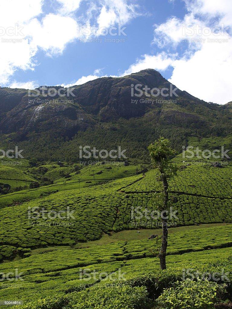 Tea plantation,Munnar,India. royalty-free stock photo