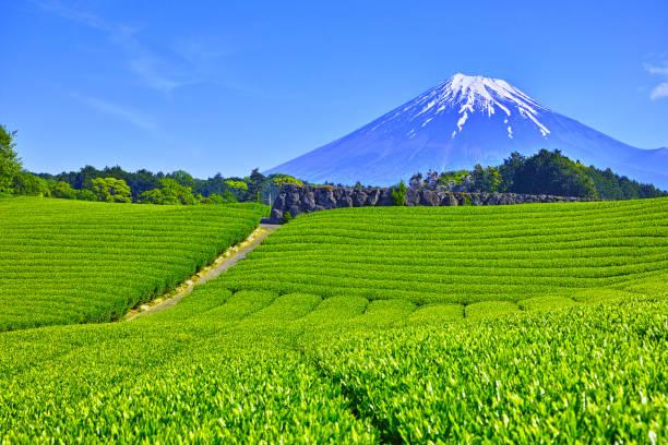 茶畑と富士山 - 富士山 ストックフォトと画像