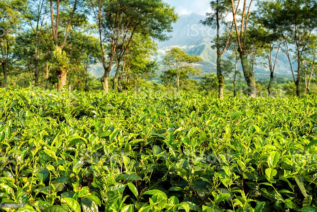 Tea plantations at Java, Indonesia stock photo