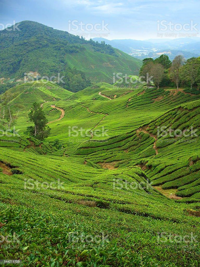 Tea plantations in Cameron Highlands, Malaysia,vertical stock photo