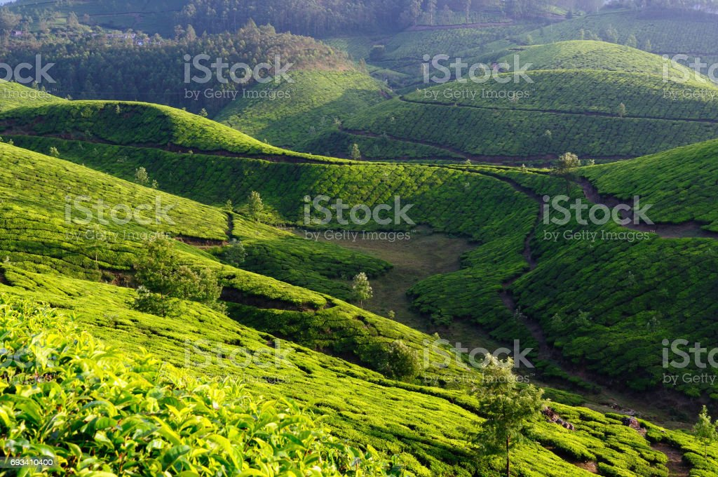 tea plantations in India stock photo