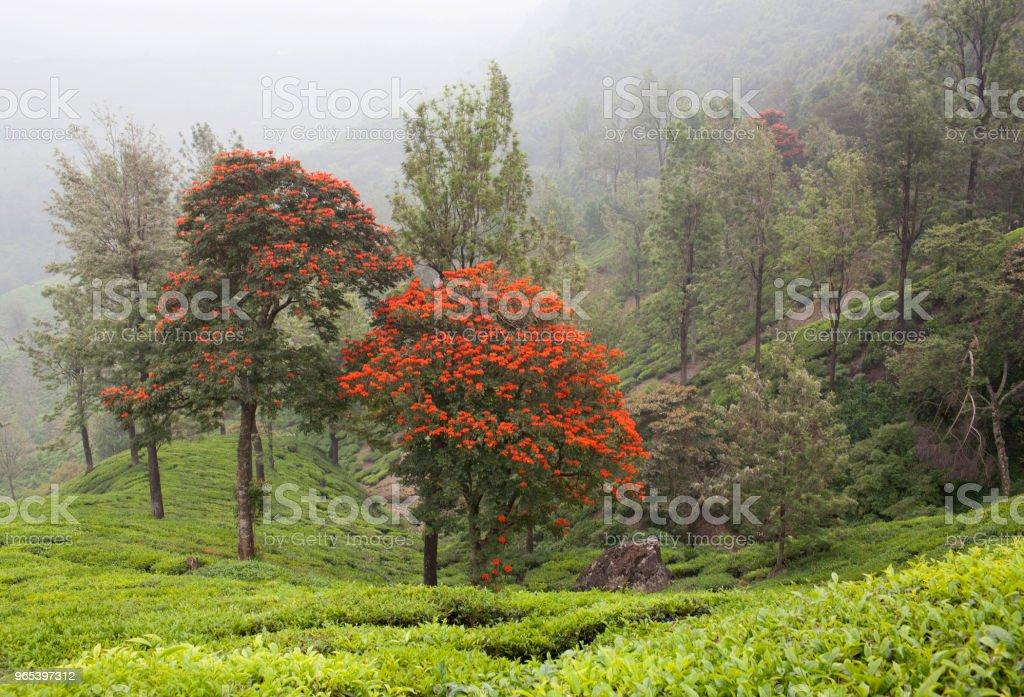 Tea plantations in Kerala, South India royalty-free stock photo