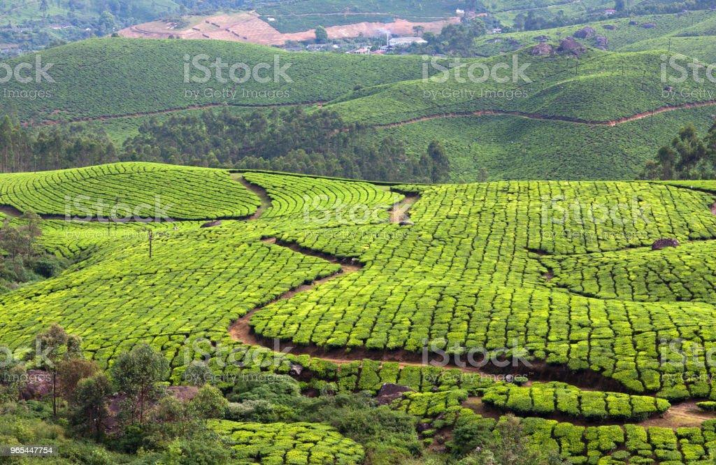 Tea plantations in Kerala, South India zbiór zdjęć royalty-free