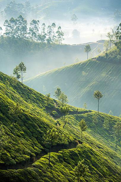 tea plantations in munnar, india - darjeeling tee stock-fotos und bilder