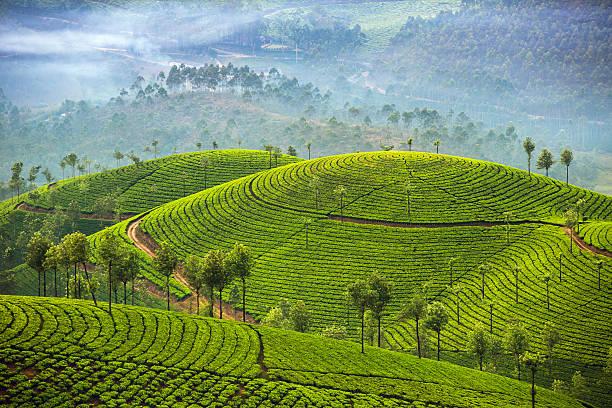 teeplantagen in munnar, kerala, indien - darjeeling tee stock-fotos und bilder