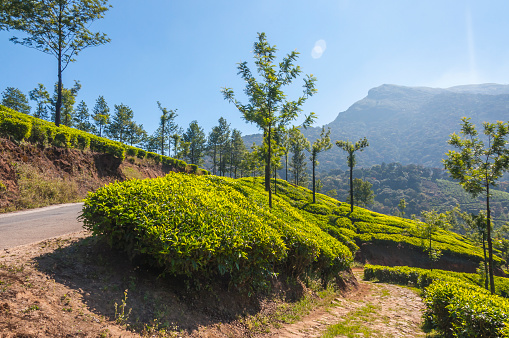 This shot was made in Munnar mountains in Southern Indian state Kerala on January 2015. No words cannot describe the feelings that comes to your heart when you see this beauty. Endless carpet of the tea bushes till the horizon. Emerald color of the tee leafs make you feel like in some fairy tale. The rolling hills are just amazing. Munnar is an attractive destination with the world's best and renowned tea estates. There are more than 50 tea estates in and around Munnar.  It is one of the biggest centers of tea trade in India.