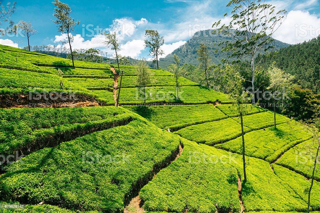 Tea plantations in Nuwara Eliya, Sri Lanka stock photo