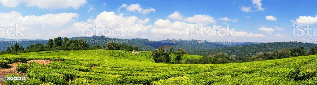 Tea plantations in the Mufindi Southern Highlands in Tanzania stock photo