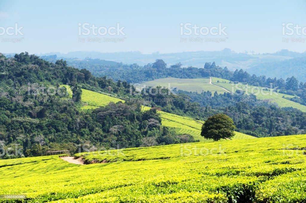 Plantations de thé dans les hautes-terres méridionales de Mufindi en Tanzanie - Photo