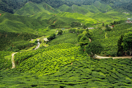 istock tea plantations landscape 470248960