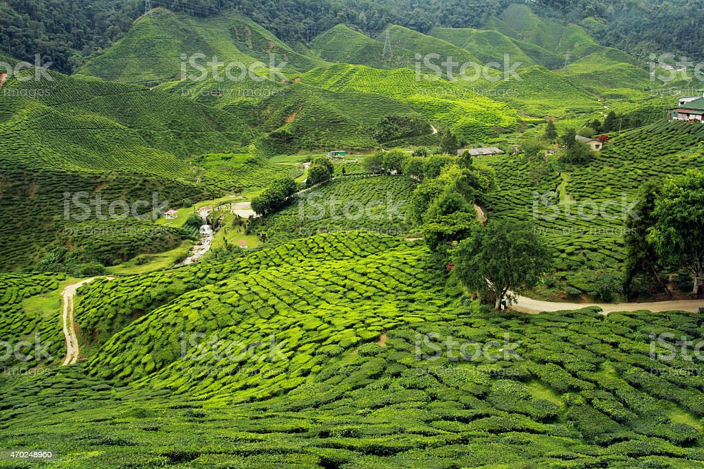 tea plantations landscape stock photo