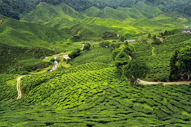 tea plantations landscape tea plantations landscape tea crop stock pictures, royalty-free photos & images