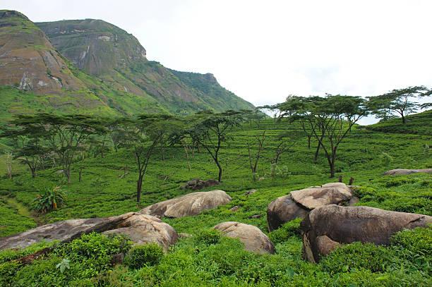 Tea plantations, Mozambique stock photo