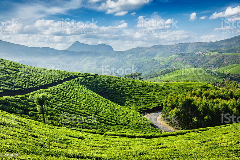 Tea plantations, Munnar, Kerala state, India stock photo