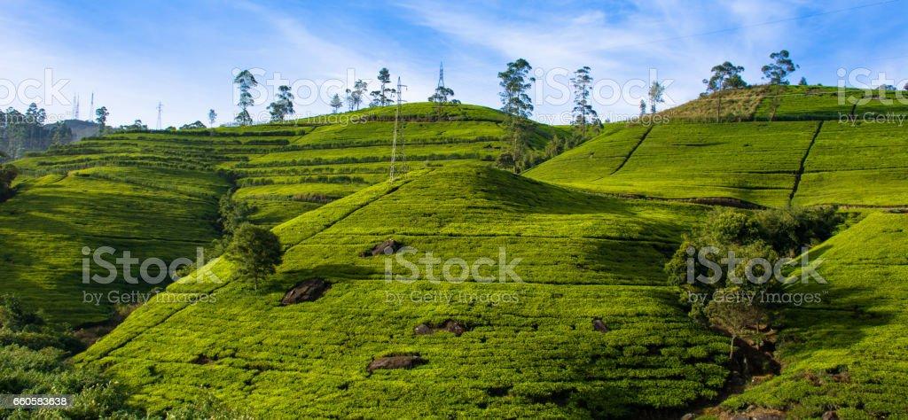 Tea plantations near Nuwara Eliya town royalty-free stock photo