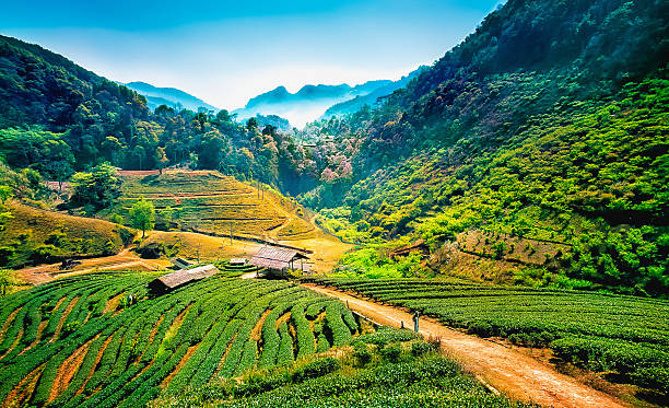 Tea plantations on angkhang mountain, chiang mai, thailand Tea plantations on angkhang mountain, chiang mai, thailand chiang mai province stock pictures, royalty-free photos & images