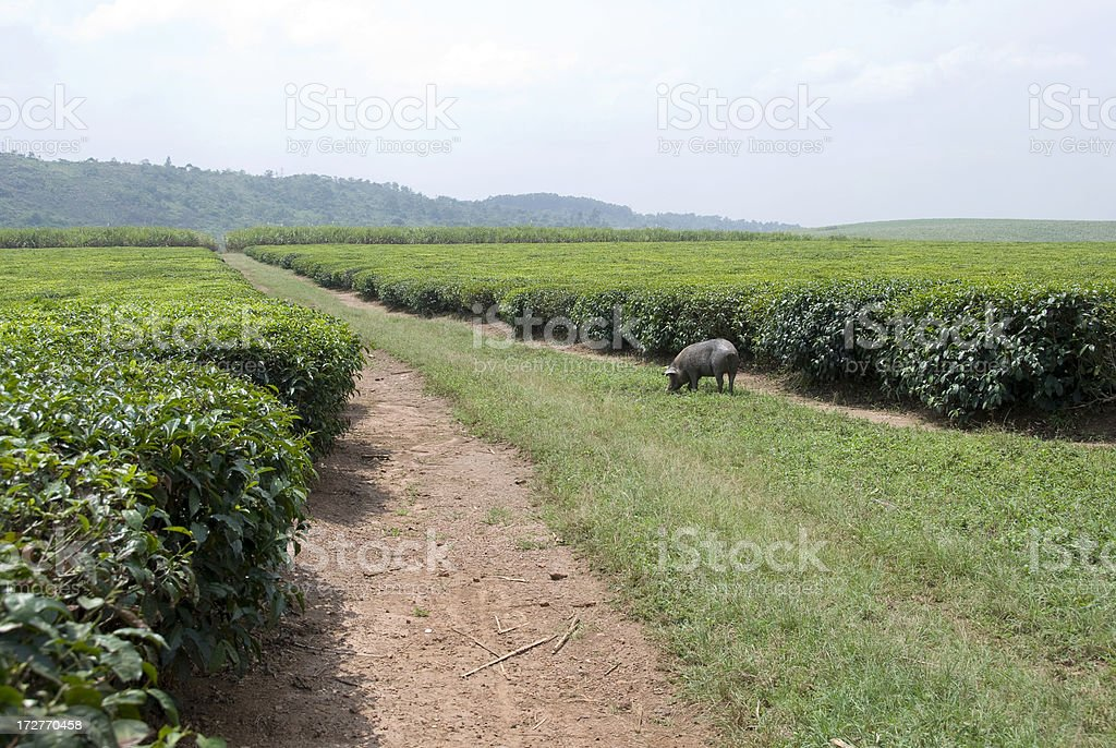 Tea plantations royalty-free stock photo