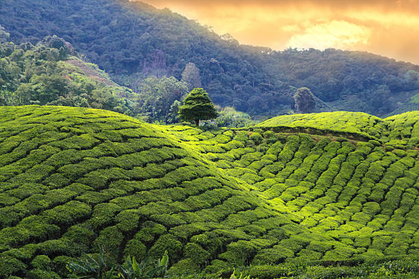 tea plantations sunset - terras veld stockfoto's en -beelden