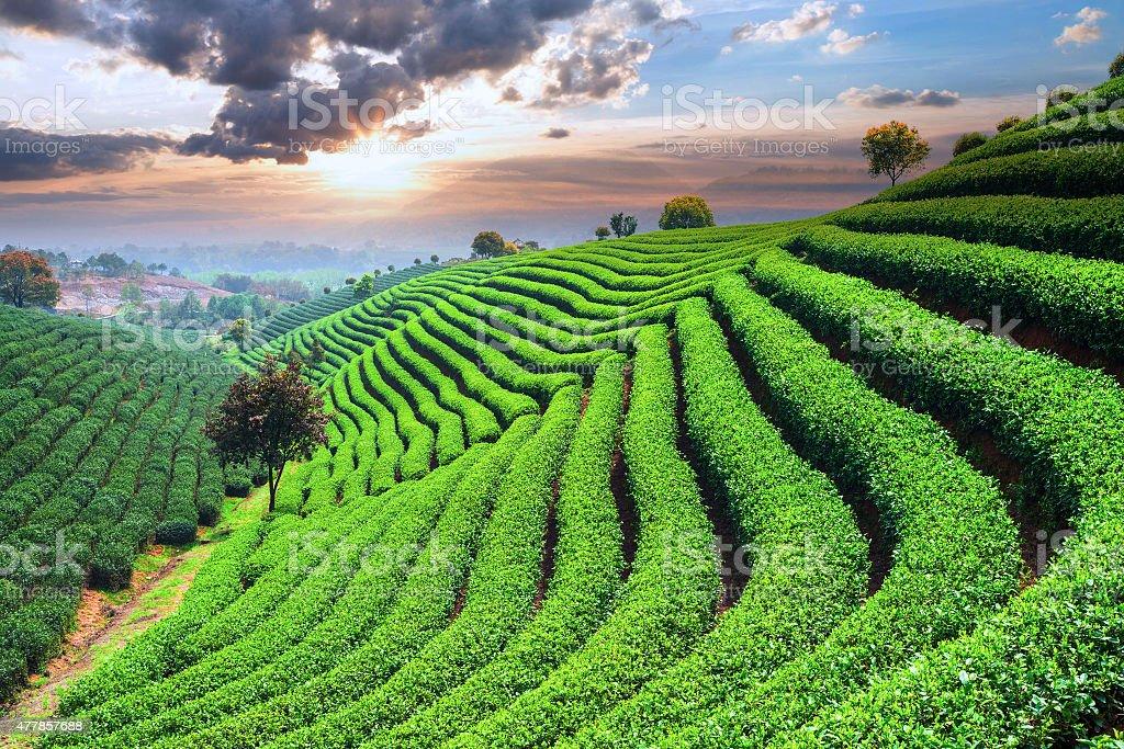 Tea Plantations under sky royalty-free stock photo