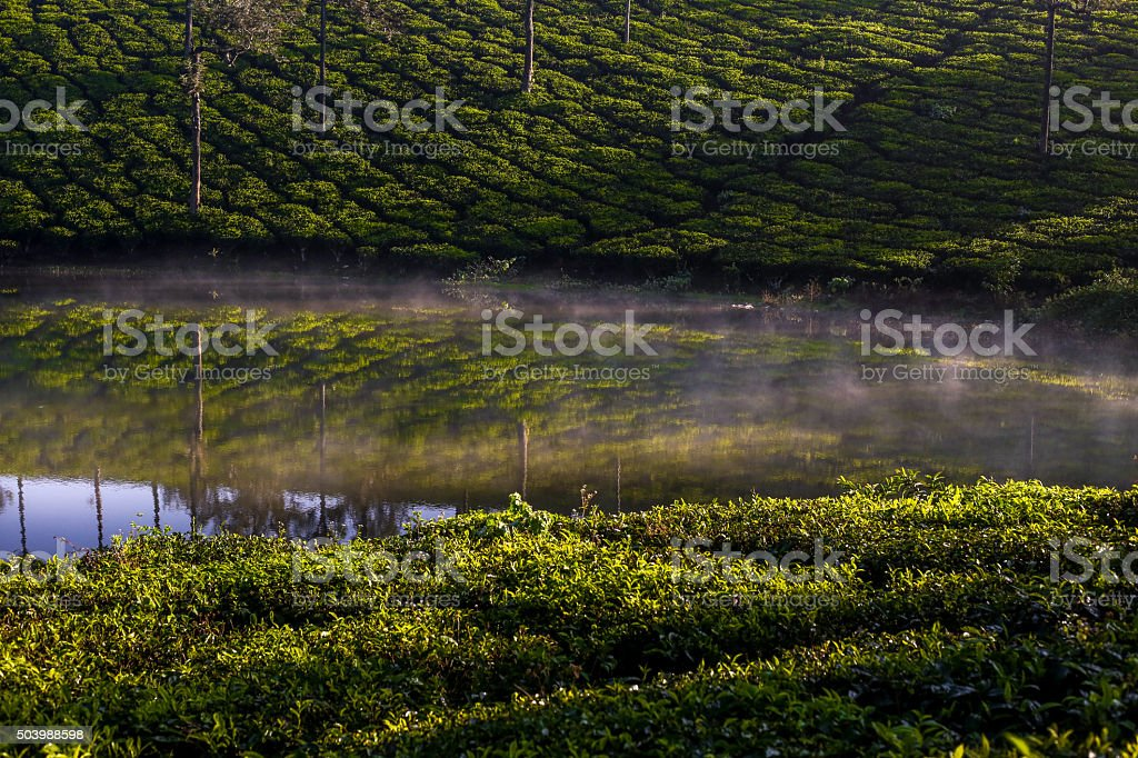 tea plants on forest with fogs stock photo