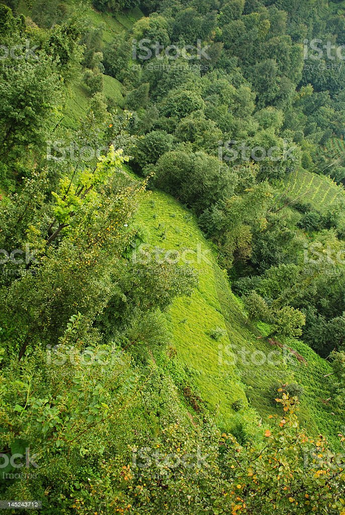 Tea plants stock photo
