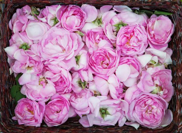 Tea rose petals rose oil production picture id961544202?b=1&k=6&m=961544202&s=612x612&w=0&h=y9zr 9d6l8lmdp7w7 1orsbyt2ydt0jedftlyhg e1a=