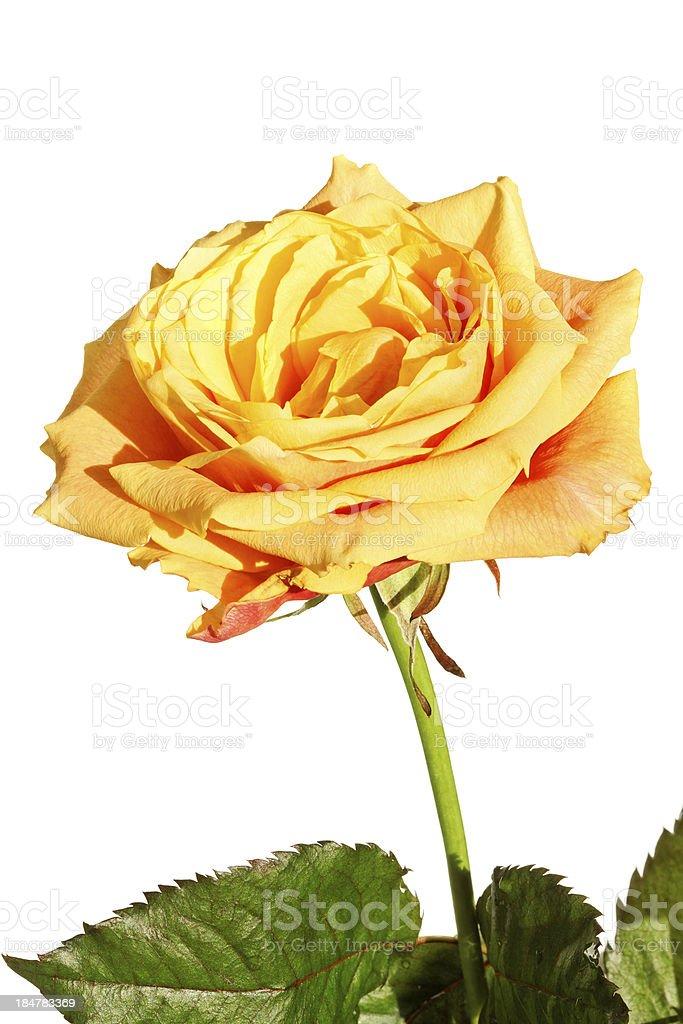 Rosa Tea - Fotografie stock e altre immagini di Arancione | iStock