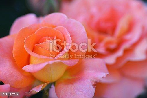 Rose, Germany, Eifel.