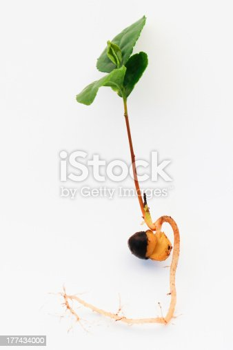 Tea Seedling Stock Photo & More Pictures of Camellia sinensis