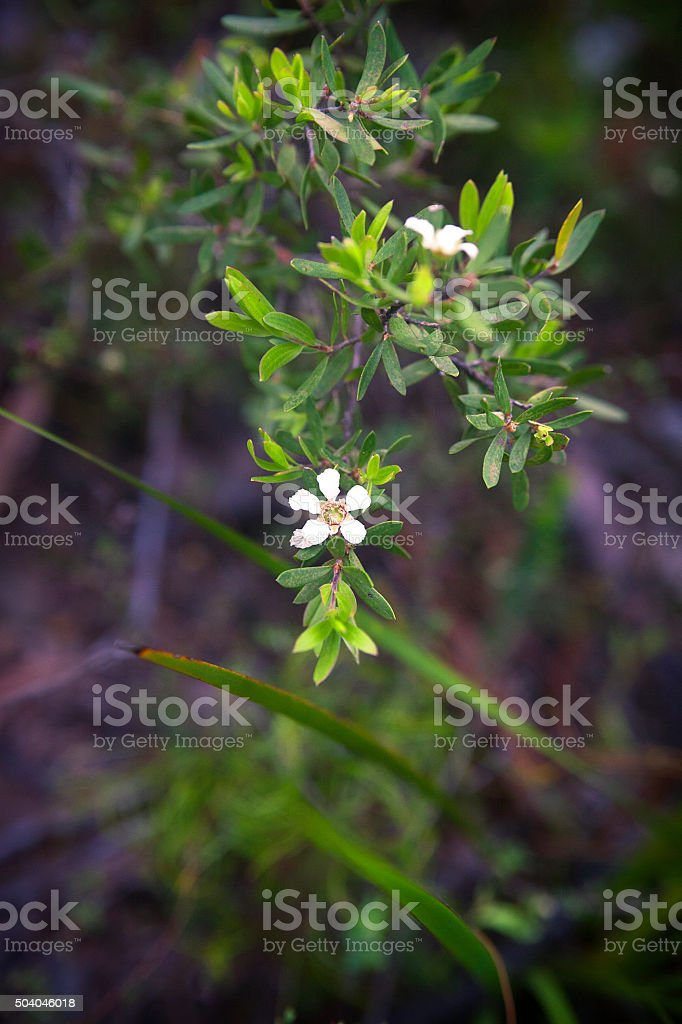 Tea Tree flowers stock photo