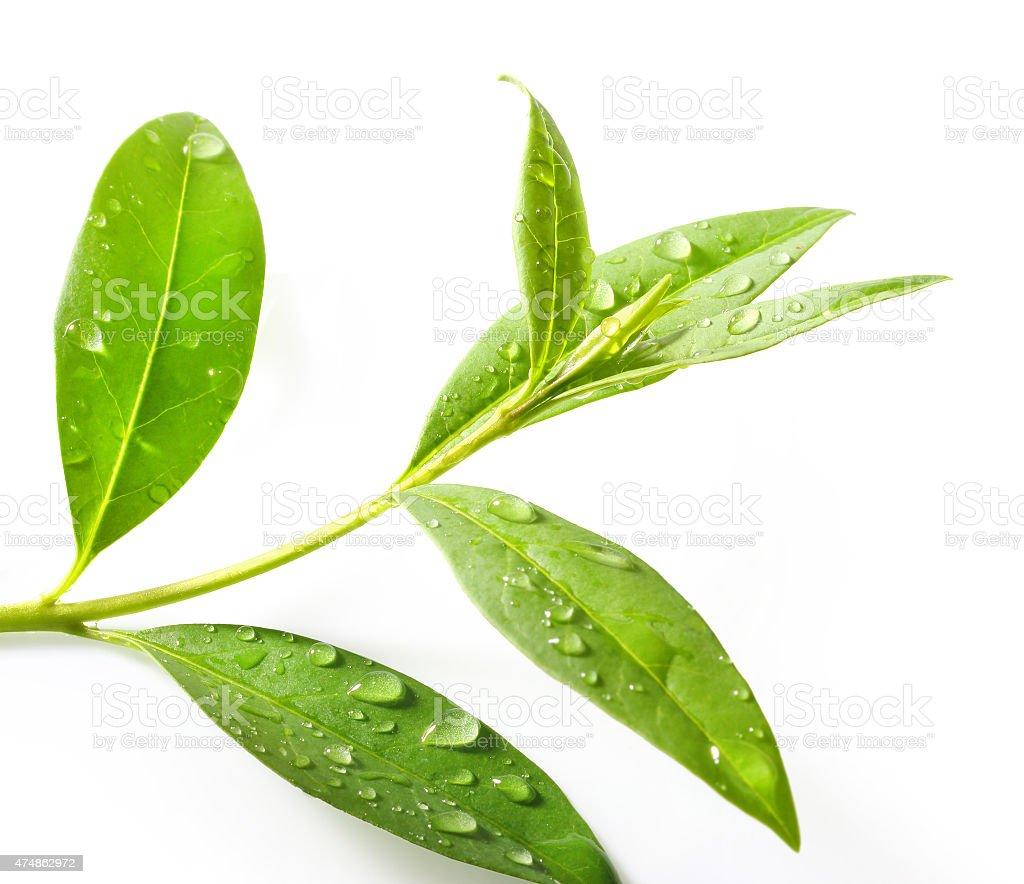 Tea tree (Thea sinensis). - Lizenzfrei 2015 Stock-Foto