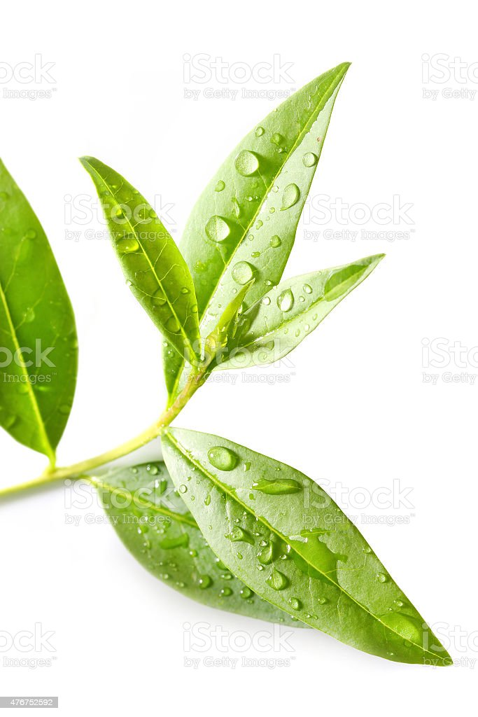 Tea tree (Thea sinensis). stock photo