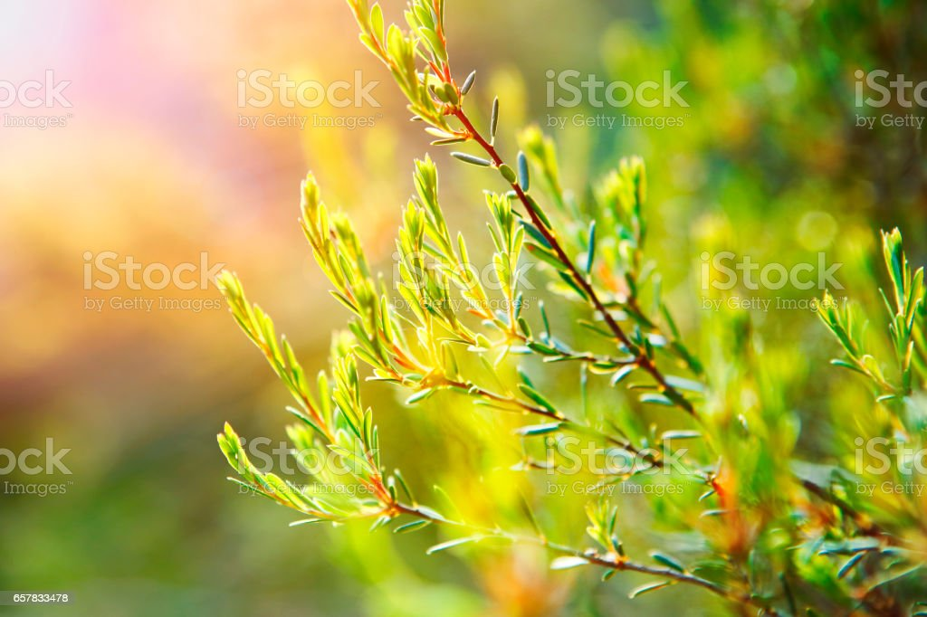 Tea tree plant stock photo