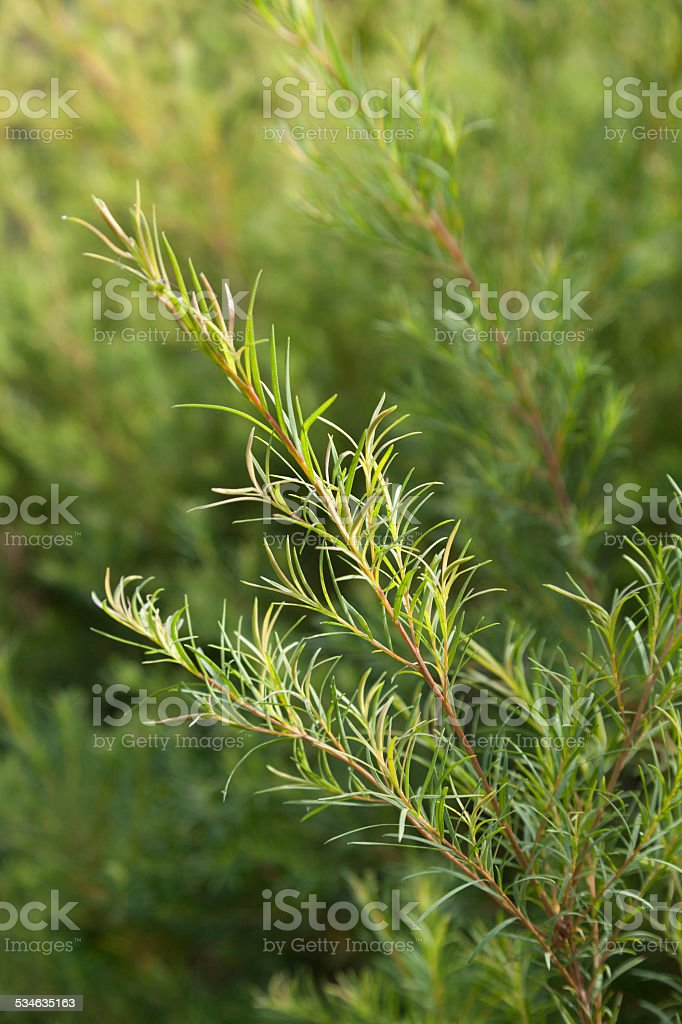 Tea tree sprig stock photo