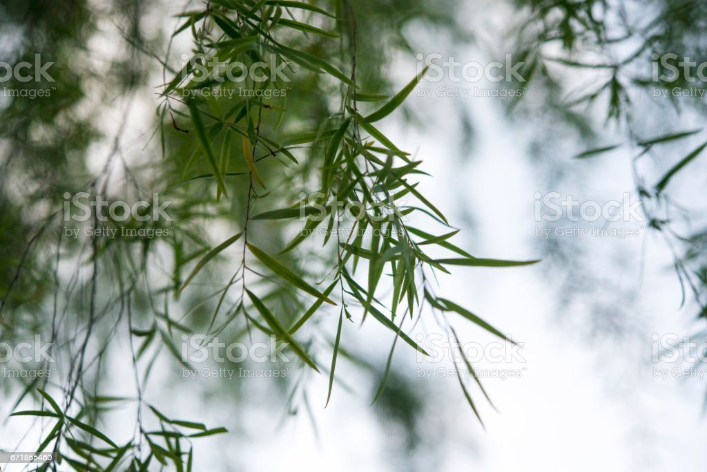 Tea tree, weeping tea tree or silver princess' leaf background. stock photo