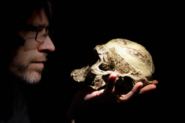 Teacher with a Australopithecus africanus skull model on his hand. stock photo