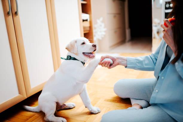 teaching a puppy to give a paw. - training imagens e fotografias de stock