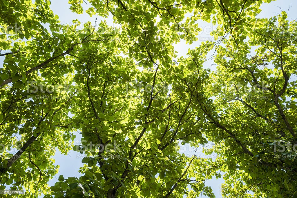 Teak leaf on tree low angle view with blue sky stock photo