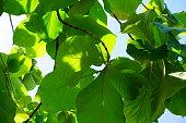 チーク材の葉