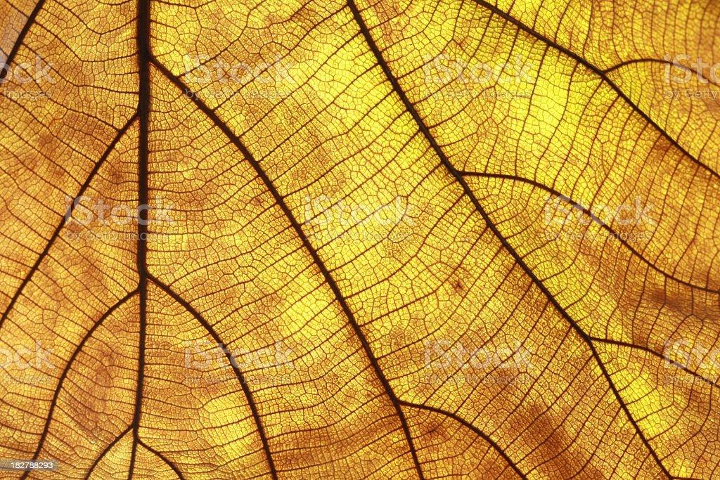 Teak Old leaf royalty-free stock photo