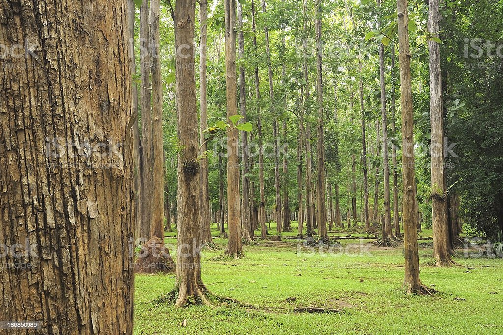 Teak tree forests stock photo