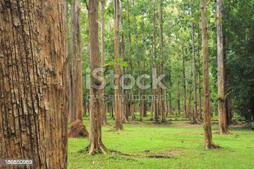 Teakbaum blatt  Teakbaum Wälder Stock-Fotografie und mehr Bilder von Blatt | iStock